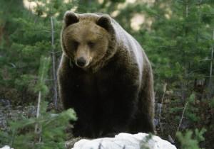hakan_vargas_s-brown_bear-2046