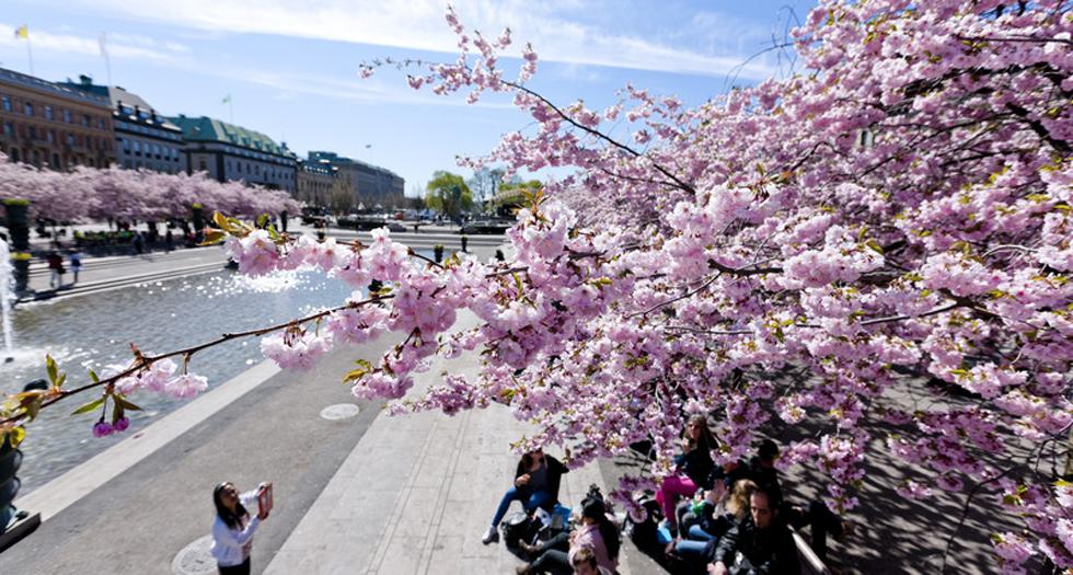 春のたび - ストックホルム - 桜