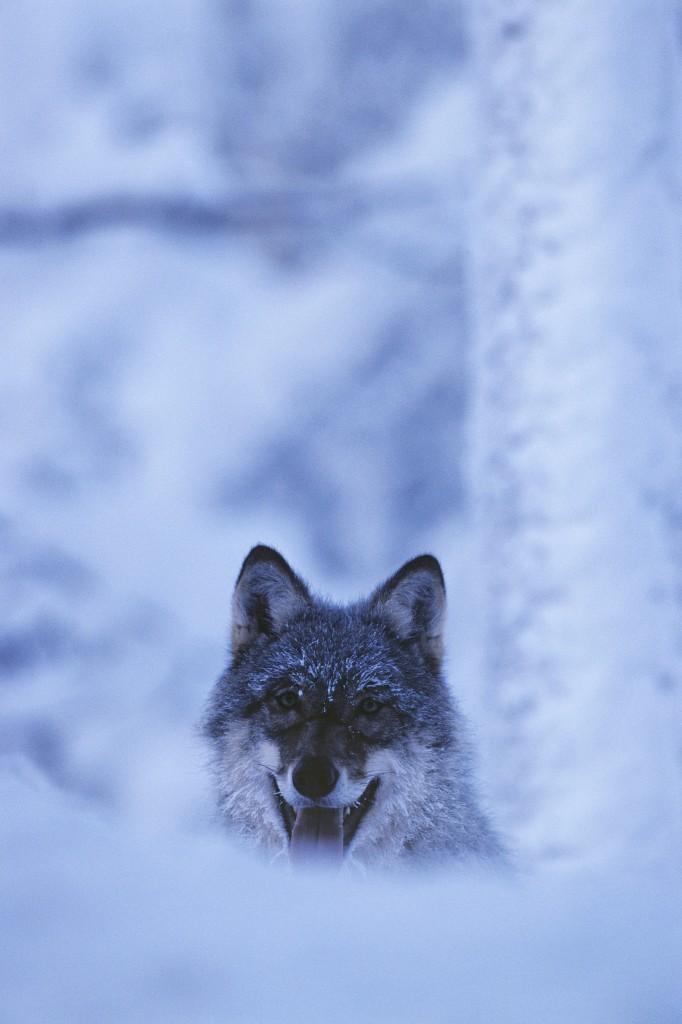 スウェーデン オオカミ、スウェーデンの自然