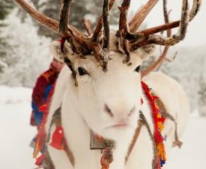 lola_akinmade_akerstrom-white_reindeer-1605
